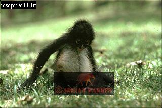 Black Spider MONKEY (Ateles paniscus) Juvenile, Venezuela, 1976