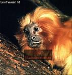 Golden Lion MARMOSET (Leontopithecus rosalia), Brazil