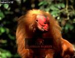 Red UAKARI (Cacajao rubicundus), Brazil