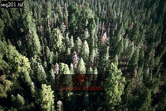 Aerials (aerial image) of North America: Sequoia Forest, Sequoia National Park, California, USA