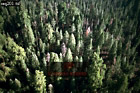 Aerials (aerial image) of North America: Sequoia Forest, Sequoia National Park, California, USA