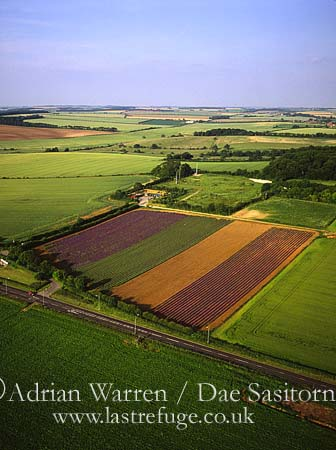 Lavender Fields, Heacham, Norfolk, England