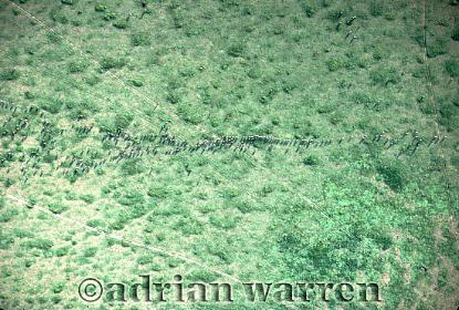 Aerials (aerial image) of Africa : Blue WILDEBEEST (Connochaetes taurinus), Migration, Serengeti, Tanzania, 1990