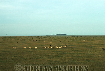 Aerials (aerial image) of Africa : Zebras, view from air, Serengeti, Tanzania