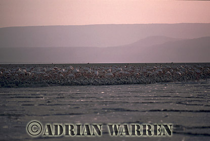 Aerials (aerial image) of Africa : GREATER FLAMINGOES Nesting Colony, Lake Natron, African Rift valley / Tanzania, 1990