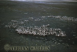 Aerials (aerial image) of Africa : Greater Flamingoes (Phoenicopterus ruber) Nesting Colony, Lake Natron, African Rift valley / Tanzania, 1990