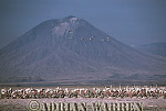 Aerials (aerial image) of Africa : GREATER FLAMINGOES Nesting Colony on Lake Natron with Mount Lengai in background, African Rift valley / Tanzania, 1990