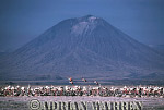 Aerials (aerial image) of Africa : GREATER FLAMINGOES Nesting Colony on Lake Natron with Mount Lengai in background, African Rift valley / Tanzania, 1991