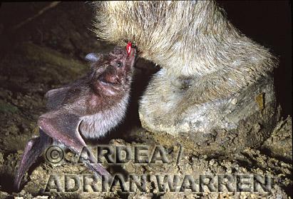Vampire BAT (Desmodus rotundus) feeding on a donkey, Trinidad