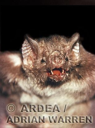 Vampire BAT (Desmodus rotundus), Trinidad