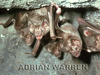Vampire Bat roosting (Desmodus rotundus): Perseverance Cave, Trinidad
