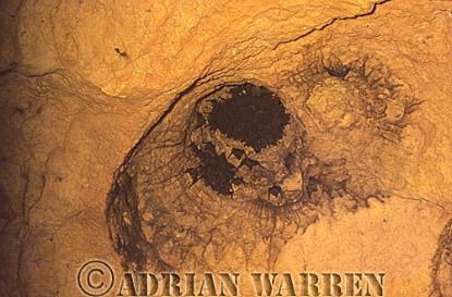 Vampire BAT (Desmodus rotundus) roosting in cave, Trinidad