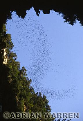 Wrinkle-lipped BATS (Tadarida plicata), Emerging at dusk from Deercave, Gunung Mulu Nat. park, Sarawak