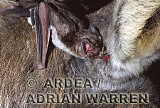 Vampire BAT (Desmodus rotundus) feeding on a donkey, Trinidad