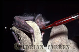 Vampire BAT (Desmodus rotundus) young feeding on blood, Trinidad