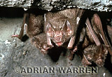 Vampire BAT (Desmodus rotundus) feeding on a chicken, Trinidad
