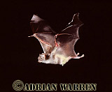 Vampire BAT (Desmodus rotundus) in flight, Trinidad