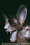 False Vampire Bat (Vampyrum spectrum)