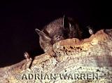 VESPERTILIONID BAT (Myotis daubentoni), England