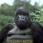 To Image gallery of Mountain Gorilla