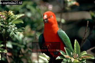 King PARROT (Alisterus scapularis), Queensland, Australia