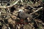 Black NODDY TERNS (Anous minutus), Heron Island, Australia