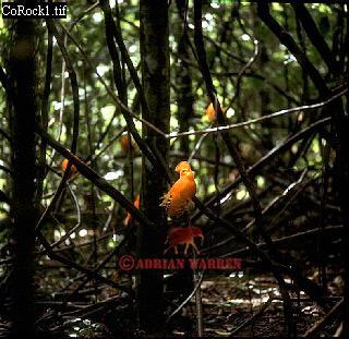 Guianan Cock-of-the-Rock (Rupicola rupicola), Suriname
