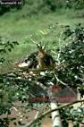 HOATZIN (Opisthocomus hoatzin), Venezuela