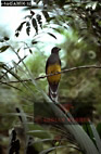 Snow-tailed TROGON (Trogon strigilatus chionurus), Amazonas, Brazil