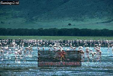 Lessser FLAMINGOES (Phoeniconaias minor), Ngorongoro Crater, Tanzania