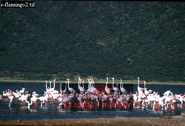 Lesser and Greater FLAMINGOES, Lake Natron, Kenya, 1988