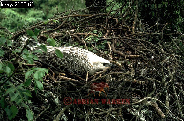 Crowned EAGLE (Stephanoaetus coronatus), Kenya, 1988