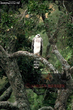 Crowned EAGLE, Juv. (Stephanoaetus coronatus), Kenya, 1988