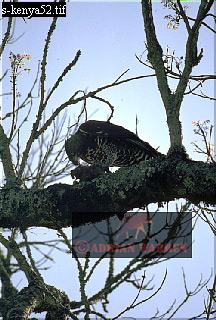 Crowned EAGLE (Stephanoaetus coronatus), Kenya, 1988