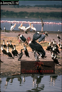 MARABOU and CORMORANT (Leptotilus crumeniferus and Phalacrocoraxcarbo lugubris) , Lake Nakuru, Kenya, 1977