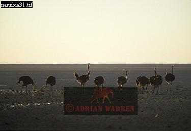 OSTRICH on Etosha Pan (Struthio camelus), Etosha National Park, Namibia