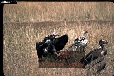VULTURES at Wildebeest Carcasse, Masai Mara, Kenya