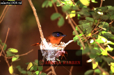 Madagascar Paradise FLYCATCHER (Terpsiphone mutata), Berenty, Madagascar