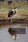 MARABOU (Leptotilus crumeniferus) , Lake Nakuru, Kenya, 1977