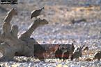 Crowned GUINEAFOWL (Numida meleagris), Etosha National Park, Namibia