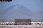 GREATER FLAMINGOES Nesting Colony, Lake Natron, African Rift Valley/ Tanzania, 1990