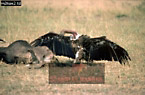RUPPEL'S GRIFFON (Gyps ruppellii) at Wildebeest Carcasse, Masai Mara, Kenya