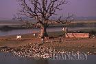 Duck farming, Ayeyawady River, Mandlay, Myanmar (formerly Burma)