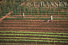 Vegetable crops, Laung Probang, Laos