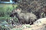 Capybara (Hydrochoerus hydrochaeris), Llanos, Venezuela, 1980