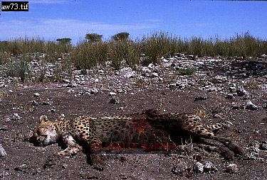 CHEETAH (Acinonyx jubatus) attacked by Lioness, Etosha National Park, Namibia