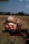 AFRICAN BUFFALO (Syncerus caffer), Akagera National Park, Rwanda, 1991