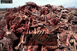 CAPYBARA (Hydrochoerus hydrochaeris): Carcasses after an Annual Slaughter, Llanos, Venezuela, 1980