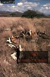 Poached GIRAFFE, Samburu, Kenya, 1977
