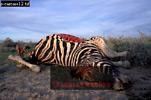 Burchell's ZEBRA (Equus burchelli), Etosha Nat. Park, Namibia